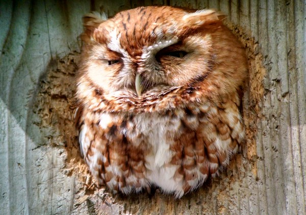 Eastern screech-owl, Maumee Bay State Park, Ohio,11 May 2016 (photo snapped by Carlos Bethancourt using Kate St. John's cellphone)