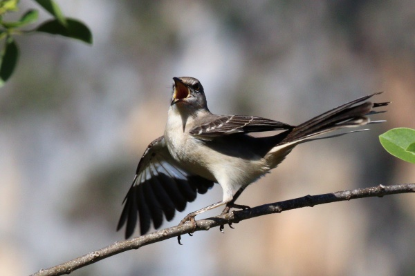 Northern mockingbird, singing with wing flash (photo from Wikimedia Commons)