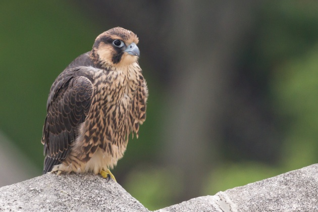 A moment of repose: Peregrine fledgling C1, 16 June 2016 (photo by Peter Bell)