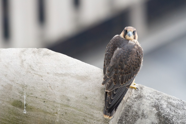 Peregrine fledgling C1 at the Cathedral of Learning, 16 June 2016 (photo by Peter Bell)