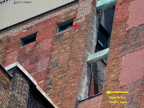 Peregrine nest site at Third Avenue. Adult in small window above the nest (photo by John English)