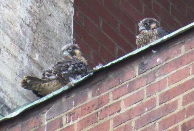 Two peregrine chicks at Third Avenue nest, 1 June 2016 (photo by Lori Maggio)