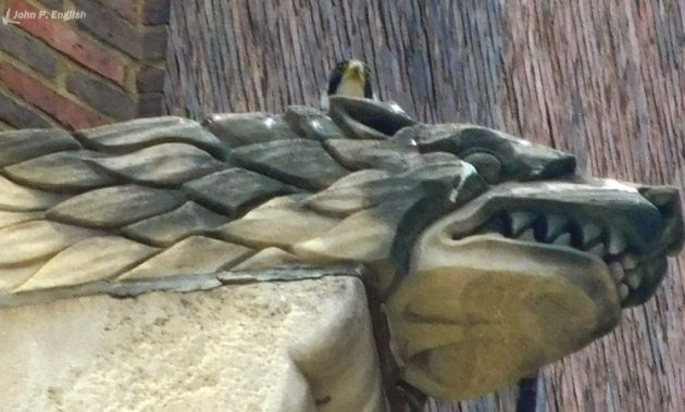 Adult peregrine on Lawrence Hall gargoyle, Downtown Pittsburgh (photo by John English)