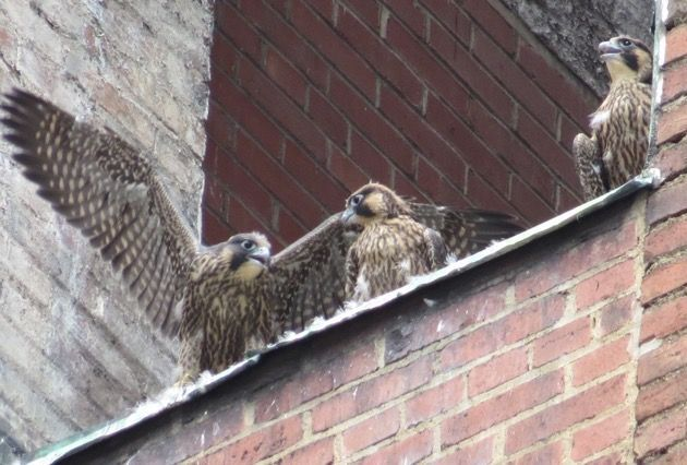 Three peregrine youngsters at the Third Ave nest opening, 4 June 2016 (photo by Lori Maggio)