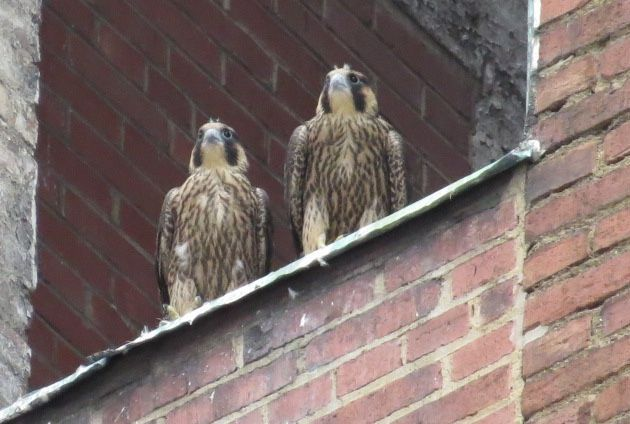 Remaining two peregrine nestlings at the Third Ave nest, 6 June 2016 (photo by Lori Maggio)