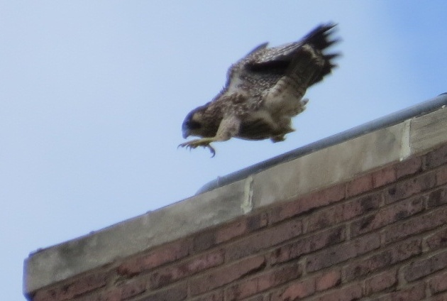 Peregrine fledgling practices flying short distances on the rescue porch edge (photo by Lori Maggio)