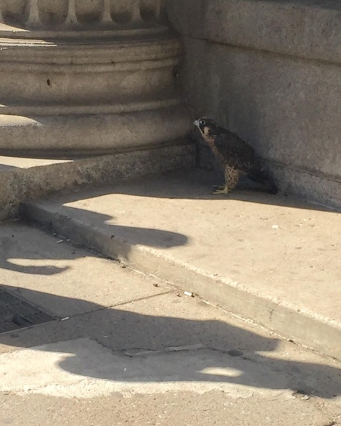 Peregrine on Wood Street or 4th Ave (photo by Amanda McGuire)