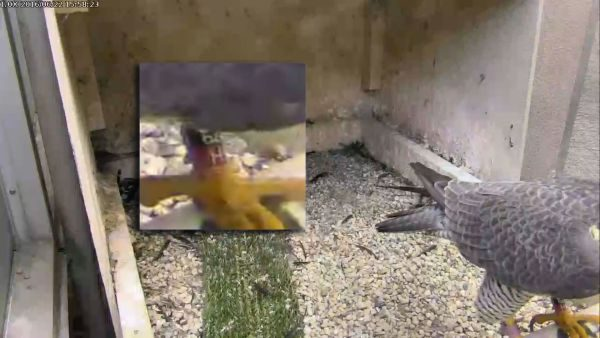 Magnum at the Cathedral of Learning (snapshot from the National Aviary falconcam at Univ of Pittsburgh)