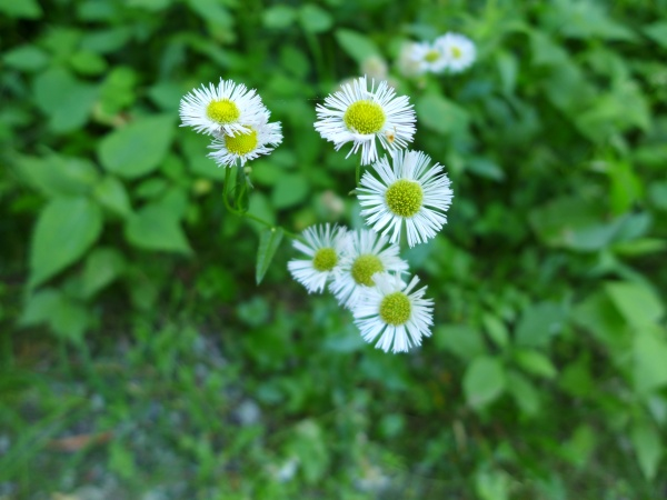 Fleabane blooming in Schenley Park, 10 June 2016 (photo by Kate St. John)