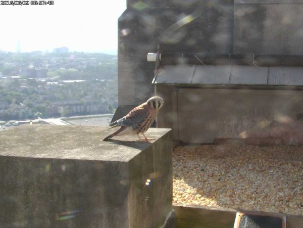 American kestrel at the Gulf Tower nest site (photo from the National Aviary falconcam at Gulf Tower)
