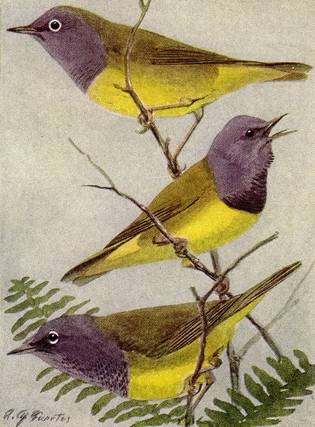 Connecticut, Mourning and MacGillivray's warblers (illustration by Louis Aggasiz Fuertes in National Geographic, public domain from Wikimedia Commons)