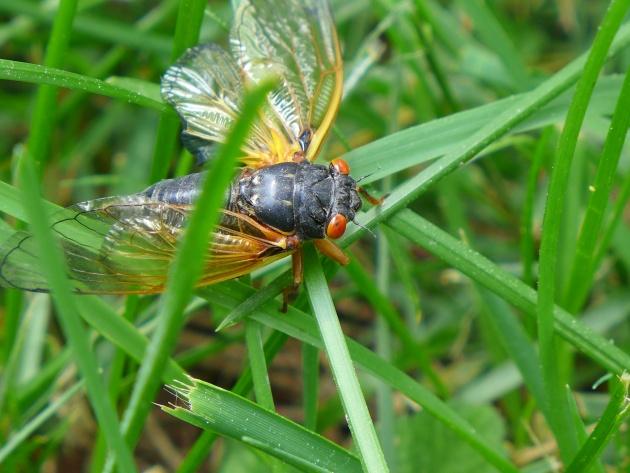 Periodical 17-year cicada, Washington Cemetery, Washington, PA, 30 May 2016 (photo by Kate St. John)