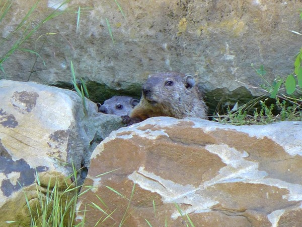 Groundhog family in the wall on the Lower Trail, Schenley Park, 13 June 2016 (photo by Kate St. John)