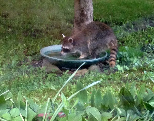 Coon at the bird bath (photo by Kathy Fox)