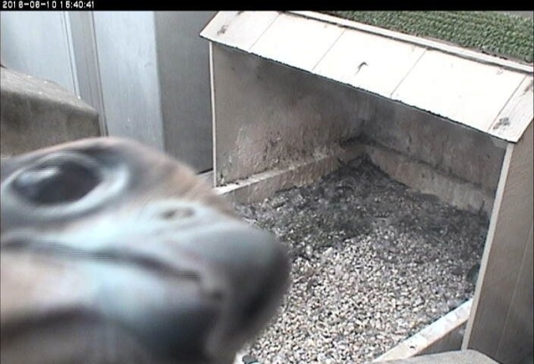 Pitt peregrine youngster, C1, inspects the snapshot camera (photo from the National Aviary snapshot camera at Univ of Pittsburgh)