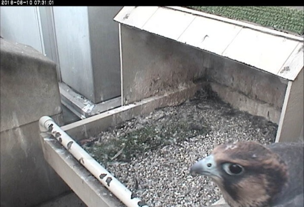 Peregrine chick C1 bgins to ledge walk, 10 June 2016 (photo from the National Aviary falconcam at Univ of Pittsburgh)