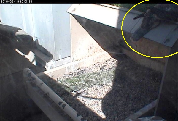 Cathedral of Learning peregrine chick snoozes on the upper perch of the nest box, 13 June 2016 (photo from the National Aviary falconcam at Univ of Pittsburgh)