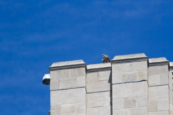 She fledged! Pitt peregrine fledgling, C1, on the west face of the Cathedral of Learning, 25 floors up, 14 June 2016 (photo by Peter Bell)