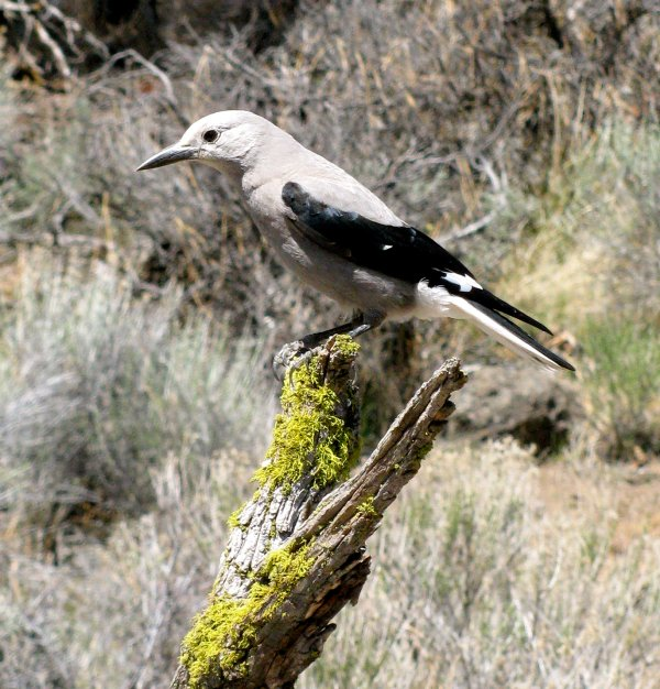 Clark's nutcracker (photo by Simon Wray, Oregon Department of FIsh and Wildlife via Wikimedia Commons)