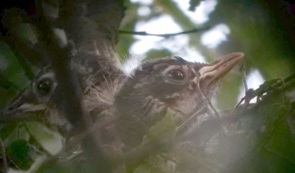 Closeup of baby robins in a nest, 9 Jul 2016 (photo by Kate St. John)