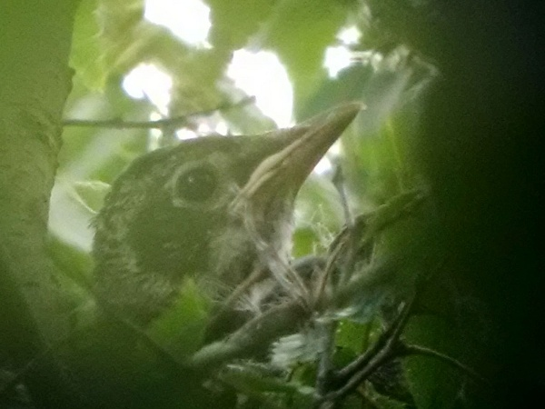 One baby robin, partially obscured by leaves (photo by Kate St. John)