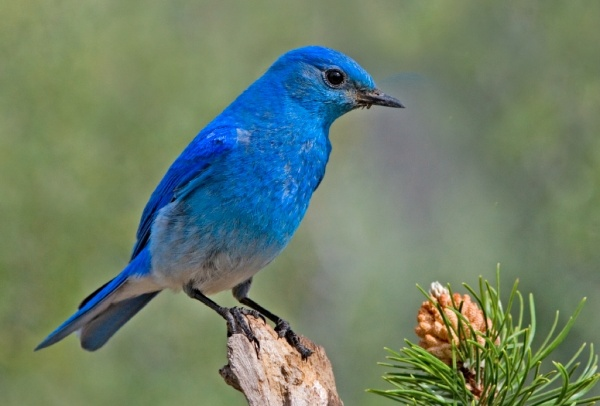Mountain bluebird (photo by Elaine R. Wilson via Wikimedia Commons)