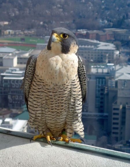 Peregrine falcon, Dorothy, at the Cathedral of Learning, Feb 2011 (photo by Patricia Szczepanski)