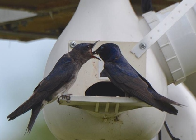 Purple martin fledgling opens wide for dad (photo by Donna Foyle)