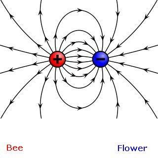 Positive and negative electric fields: bee and flower (image from Wikimedia Commons)