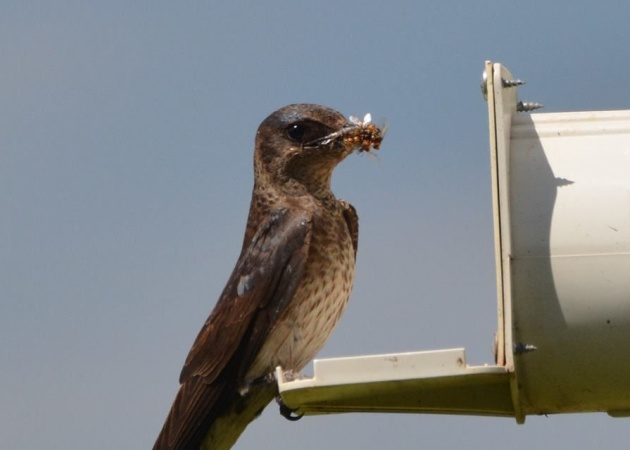 Female purple martin with food for her nestlings (photo by Donna Foyle)