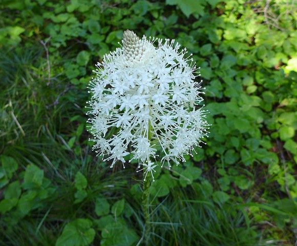 Beargrass in bloom, Glacier National Park, June 2016 (photo by Kate St.John)