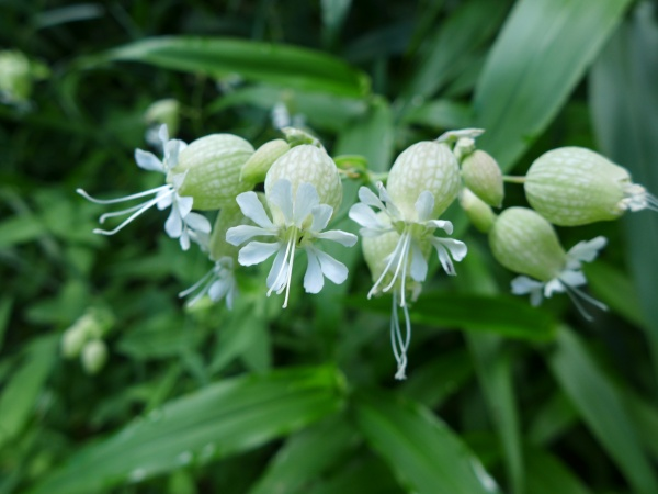 Bladder campion, 17 Jul 2016 (photo by Kate St. John)