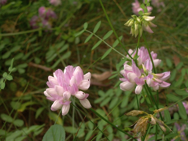 Crown Vetch (photo by Christopher Bailey via Wikimedia Commons)