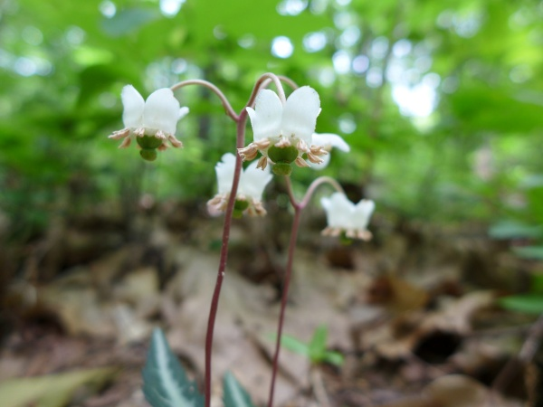 Striped wintergreen, 2 July 2016 (photo by Kate St. John)