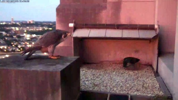 The Downtown peregrine pair, Dori and Louie, bow at sunset, 2 July 2016 (photo from the National Aviary falconcam at Gulf Tower)