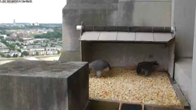 Dori and Louie bow at the Gulf Tower nest, 14 July 2016, 3:48pm (photo from the national Aviary falconcam at Gulf Tower)
