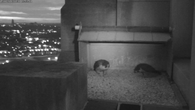 Dori and Louie bow at the Gulf Tower nest before dawn, 30 July 2016 (photo from the National Aviary falconcam at Gulf Tower)