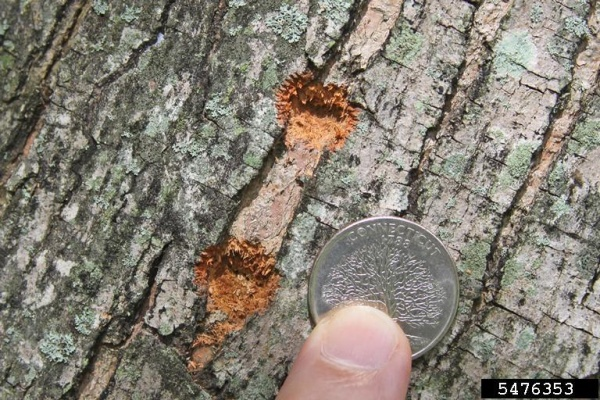 Two egg niches drilled by Asian longhorned beetles (photo by Joe Boggs, Ohio State University, Bugwood.org)