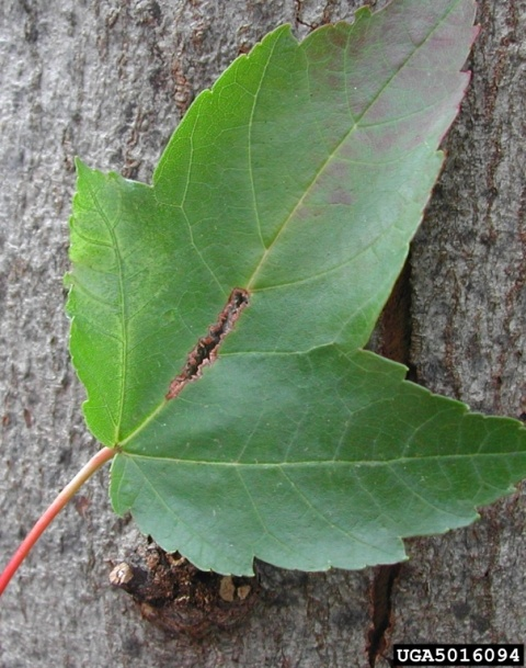 Leaf damage from Asian longhorned beetle (photo byPennsylvania Department of Conservation and Natural Resources - Forestry , Bugwood.org)
