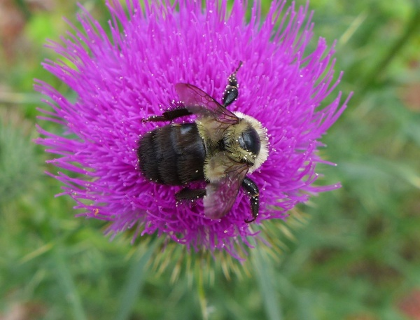 Bumblebee on thistle with pollen grains (photo by Kate St. John)