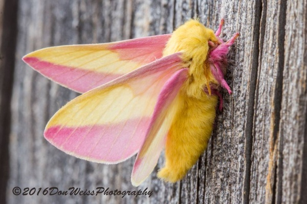 Rosy maple moth (photo by Don Weiss)