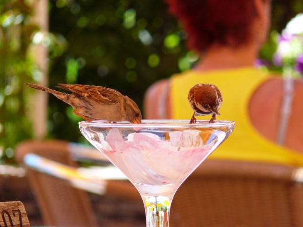 Italian Sparrows in Bolzano, Italy (photo from Wikimedia Commons)