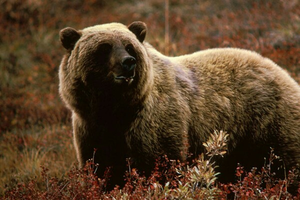Grizzly bear (photo from Wikimedia Commons)