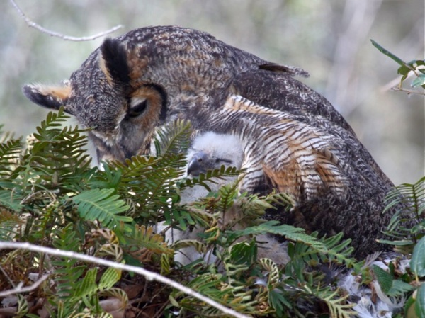 Great horned owl mother and nestling, Florida 2010 (photo by Chuck Tague)