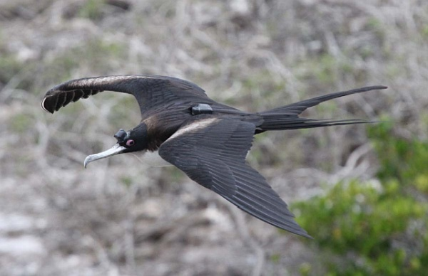 Great frigatebird carrying sleep monitoring equipment (photo by Bryson Voiron from Nature Communications article)