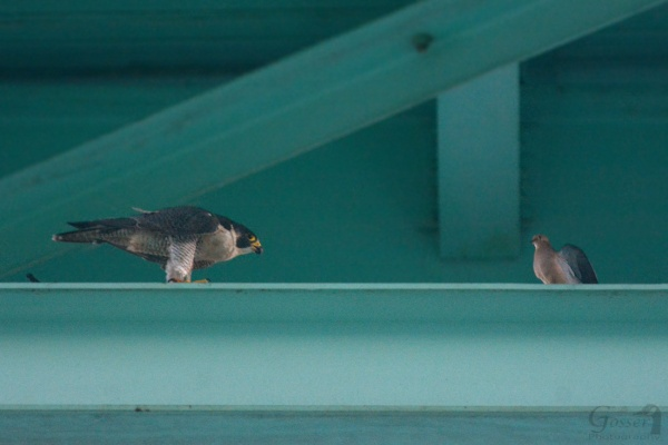 Peregrine falcon, Hope, confronts a mourning dove at the Tarentum Bridge, 27 Aug 2016 (photo by Steve Gosser)