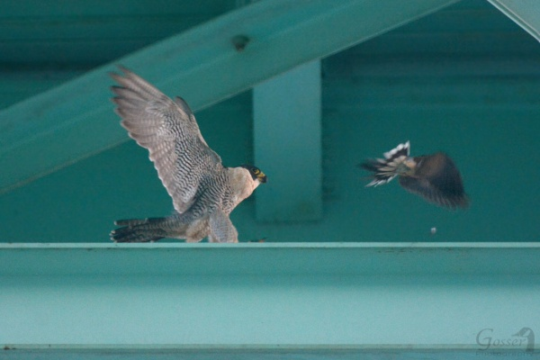 Peregrine falcon Hope stirs up a watchful mourning dove at the Tarentum Bridge, 27 Aug 2016 (photo by Steve Gosser)