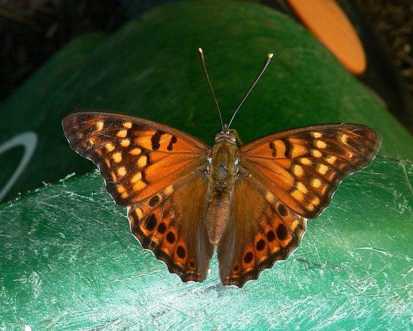 Tawny emperor butterfly (photo from Wikimedia Commons)