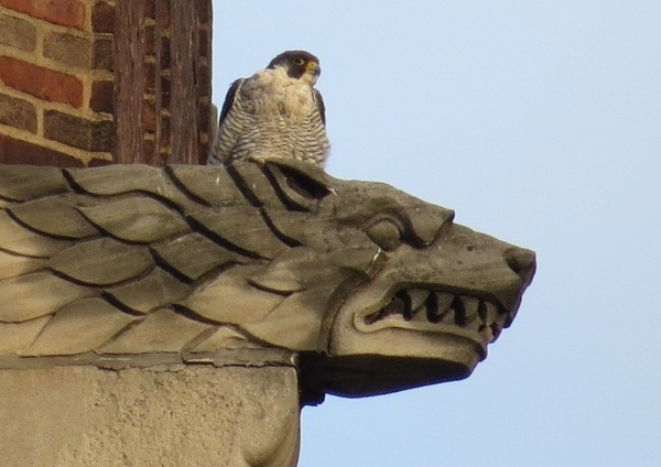 Peregrine at the gargoyle, 9 Aug 2016 (photo by Lori Maggio)