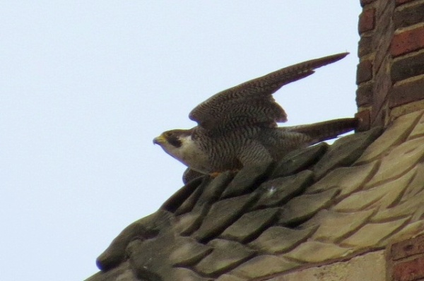 Peregrine taking off from the gargoyle, 29 Jul 2016 (photo by Lori Maggio)